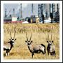 Gazelles at a Factory