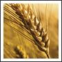 Wheat Grain In A Field